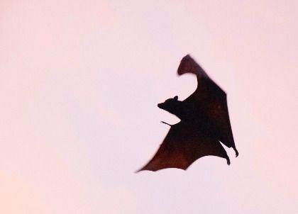 Das Foto zeigt die Silhouette einer Fledermaus im Flug