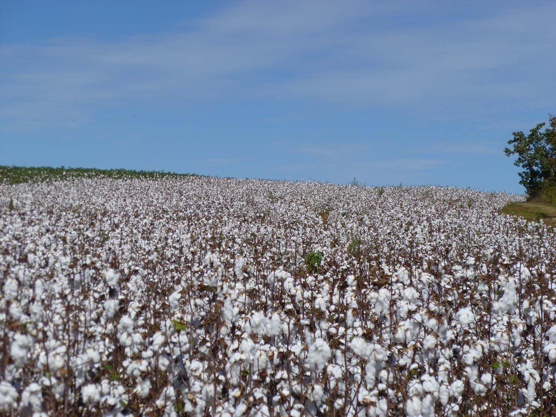 Die Bremer Baumwollbörse - Baumwolle - ohne diese Faser müssten wir uns warm anziehen